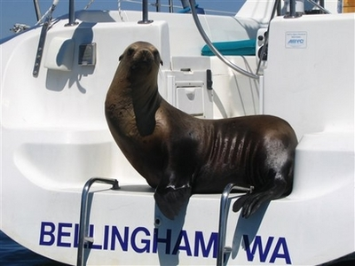 Unwanted Sea Lion