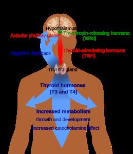 800px-Thyroid_system.svg
